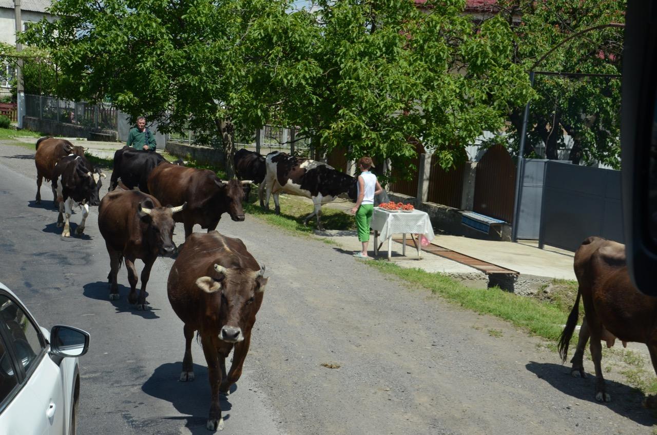 Vieh in den Straßen von Zarechchya.
